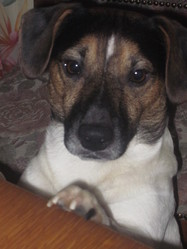 Foxy, chien Jack Russell Terrier