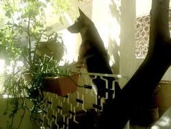 Foxy, chien Berger allemand