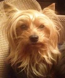 Foxy, chien Yorkshire Terrier
