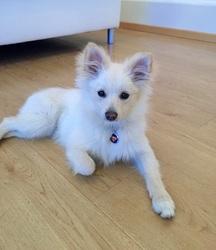 Foxy, chien Spitz allemand