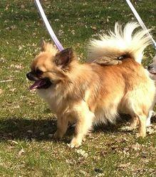 Fraicheur, chien Chihuahua