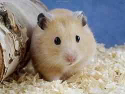 Fraise, rongeur Hamster