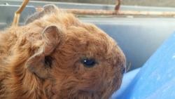 Fraise, rongeur Cochon d'Inde