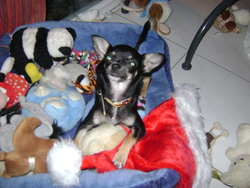 Fraise, chien Chihuahua