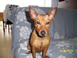 Fraise, chien Pinscher