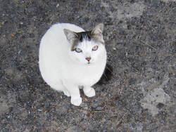 Fraise, chat Européen