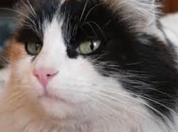 Fraisoune, chat