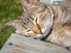 Fraize, chat Gouttière