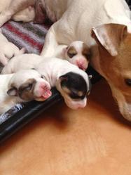Frakass, chien Jack Russell Terrier