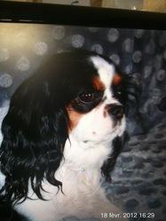 Framboise , chien Cavalier King Charles Spaniel
