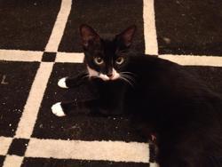 Framboise, chat Gouttière