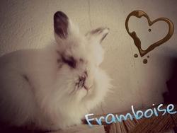 Framboise, rongeur Lapin
