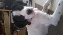 Framboise, chien Épagneul breton
