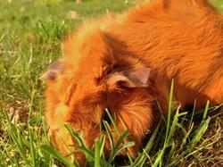 Framboise, rongeur Cochon d'Inde
