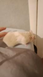 Framboise, rongeur Hamster