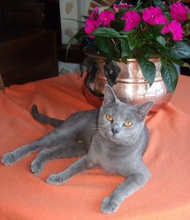 Framboise De Robinson Val 36 , chat Chartreux