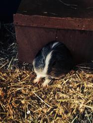 Francis, rongeur Cochon d'Inde