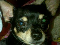 Francisco Barbarito De Jesus, chien Chihuahua