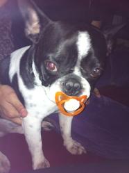 Francisco, chien Bouledogue français