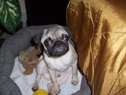 Franck, chien Carlin