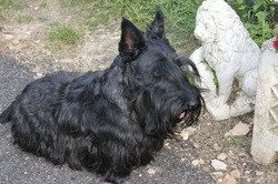 Francklin, chien Scottish Terrier