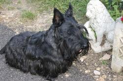Francklin, chien Scottish Terrier