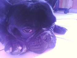 Francky, chien Bouledogue français