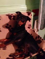 Francky, chien Pinscher