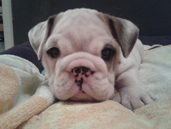 Francky, chien Bulldog