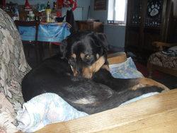 Frane, chien Beauceron