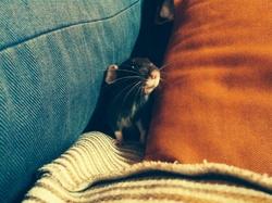 Frank, rongeur Rat
