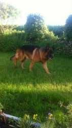 Frankiz, chien Berger allemand