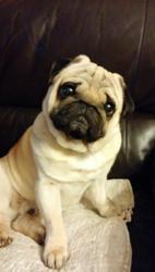 Franklin, chien Carlin