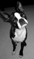 Franklin Mc Ridan Of Fast Spirit, chien Terrier de Boston
