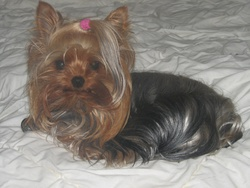 Frany-Belle, chien Yorkshire Terrier