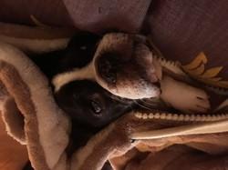 Franzy, chien Bouledogue français