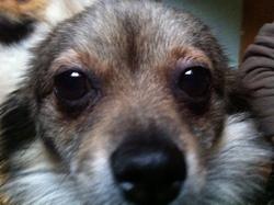 Fraulein, chien Spitz allemand