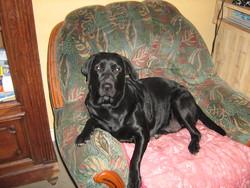 Fraya, chien Labrador Retriever
