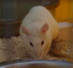 Fred, rongeur Rat