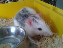 Freddie, rongeur Rat