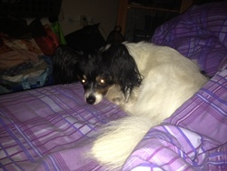 Freddie, chien Épagneul nain continental
