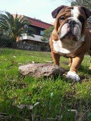 Freddie, chien Bulldog
