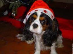 Freddy, chien Cavalier King Charles Spaniel