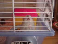 Freddy, rongeur Hamster