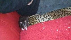 Freddy, rongeur Rat
