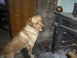 Freddy, chien Labrador Retriever
