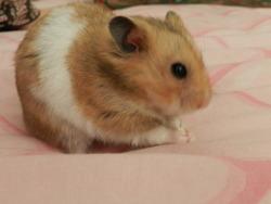 Freddy , rongeur Hamster