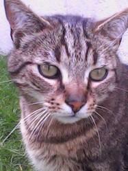 Frédi, chat Européen