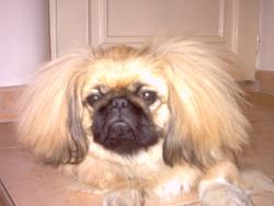 Fredon, chien Pékinois