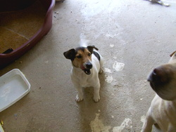 Free, chien Jack Russell Terrier